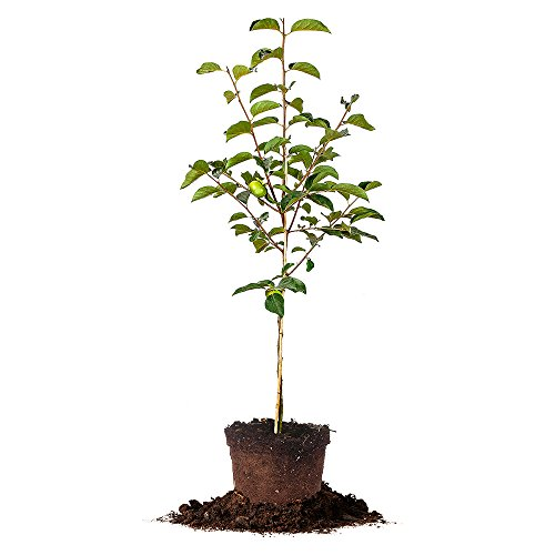 FUYU ASIAN PERSIMMON - Size: 5-6 ft, live plant, includes special blend fertilizer & planting guide by PERFECT PLANTS