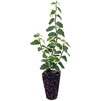 Amazon.com: Creeping Fig Planta Ficus Pumila Escalada Vine ...