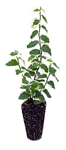 Variegated Creeping Fig Vine - Ficus Pumila Variegata - 3 Live Fully Rooted 2 Inch Plants - Climbing Ivy