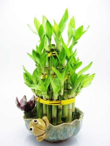 9GreenBox-Live-3-Layer-Cake-Lucky-Bamboo-Plant-Arrangement-w-Frog-Lotus-Handmade-Ceramic-Pot-40-stalk-GIFT