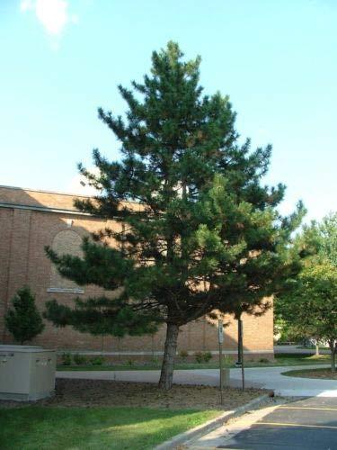 Tree Austrian Pine (1 Packet of 30 Seeds Austrian Pine Tree Plantae)