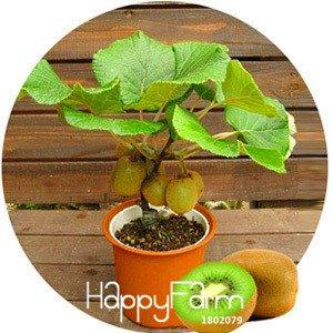 Big Promotion! Kiwi Seeds plantes en pot Mini Arbre riches arbres fruitiers Belle Bonsai Kiwi Seed, 100 graines / Pack, # IT5O18 SVI