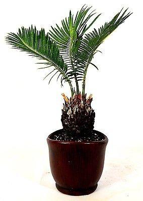 Sago Palm - 4.5