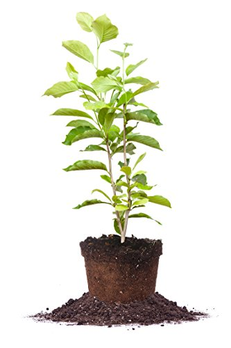 ANN Magnolia Tree - Size: 5 Gallon, Live Plant, Includes Special Blend Fertilizer & Planting Guide by PERFECT PLANTS (Image #4)