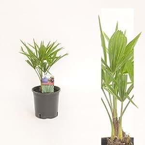 Inter Flores chino Palma de cáñamo Trachycarpus fortunei ,Palma verde , 60cm Palma Resistente Al Invierno