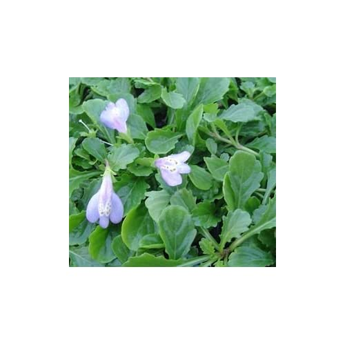 "(18 Count Flat of 3.5"" Pot) Mazus Blue Reptans, Light Green, Oval Leaves with Lavendar Flowers free shipping"