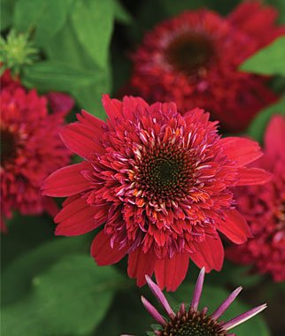Double Scoop Cranberry Coneflower Flower Seeds 50 Stratisfied Seeds