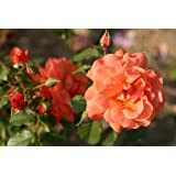 Westerland® - Container Rose im 5 ltr. Topf