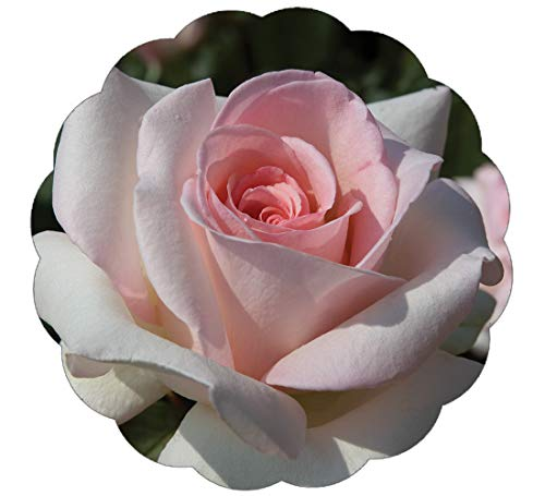 Tea Rose Plant - Stargazer Perennials Francis Meilland Rose Plant Potted | Very Fragrant Repeat Blooming Hybrid Tea Pink Flowers | Own Root