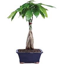 """Brussel's Live Money Tree Indoor Bonsai - 4 Years Old; 10"""" to 14"""" Tall with Decorative Container"""