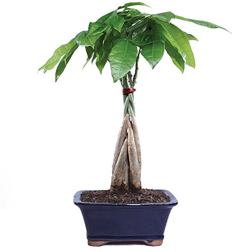 (Brussel's Live Money Tree Indoor Bonsai - 4 Years Old; 10