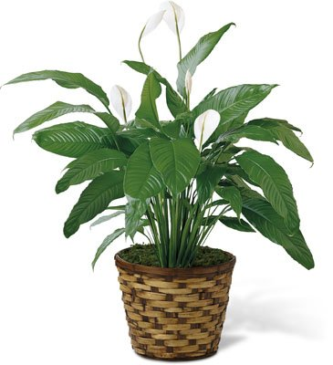 8'' Spathiphyllum (Peace Lilly) - Fresh Flowers Hand Delivered in Albuquerque Area
