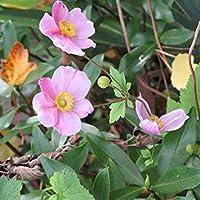 GEOPONICS Seeds - Anemone Hupehensis 'September Charm' Seeds