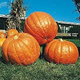 buy Pumpkin BIG MAX Great Heirloom Vegetable By Seed Kingdom 20 Seeds now, new 2019-2018 bestseller, review and Photo, best price $0.99