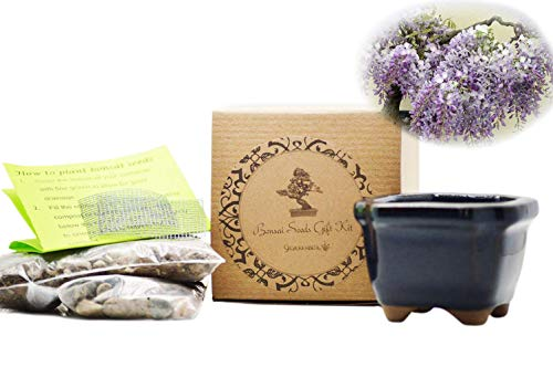 Set of 2 Chinese Blue Wisteria Bonsai Seed Kit- Gift - Complete Kit by 9GreenBox.com
