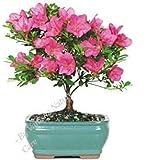Vamsha Nature Care Live Azalea Flower Ornamental Bonsai Plant -with Pot