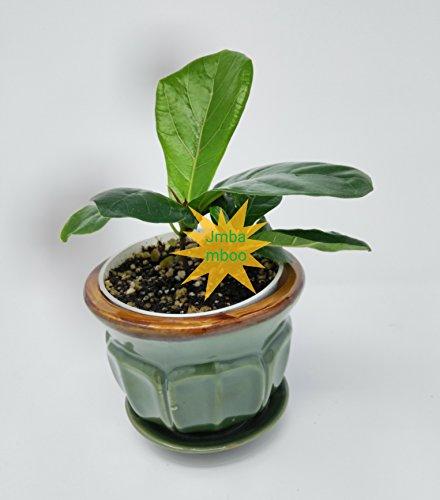 Fig Ceramics (Fiddleleaf Fig Tree - Ficus - Great Indoor Tree - 4