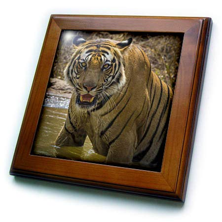 - 3dRose Danita Delimont - Tigers - India. Male Bengal Tiger, Pantera Tigris Tigris, Enjoys a Water Hole - 8x8 Framed Tile (ft_312718_1)
