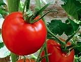 Marglobe Tomato 500+Seeds, 100% Premium Heirloom Seeds, ON SALE!, (Isla's Garden Seeds), Non Gmo Organic Survival Seeds, 90% Germination