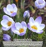 Crocus chrysanthus Blue Pearl - 20 bulbs - 5+ cm
