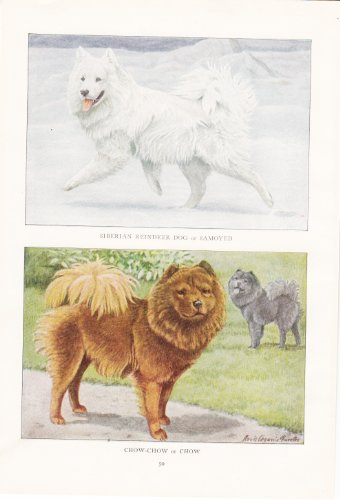 Siberian Reindeer Dog or Samoyed and Chow-Chow or Chow - 1919 -