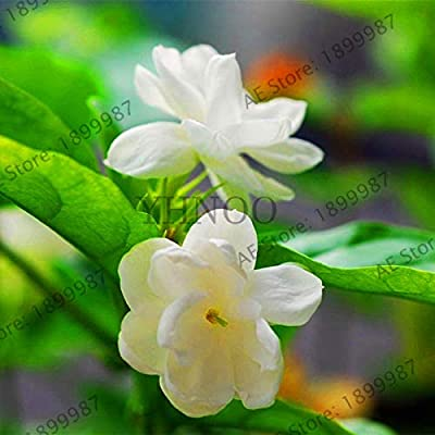 Hot 20pcs/Bag Arabian Jasmine Gardenia Flower Bonsai, Rare White and Fragrance, Cape Jasmine Flower Can be Used as a Medic: Garden & Outdoor