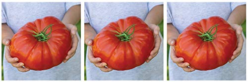 Burpee Exclusive 'Steakhouse' Hybrid | Large Red Beefsteak Slicing 1-3lbs Tomato | 25 Seeds (Тhrее Расk)