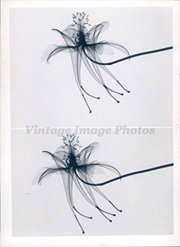 (1962 Photo Columbine Beautiful Flowers Little Seeds Historic Vintage Sky Flying)