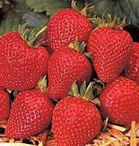 Strawberry Cambridge Favourite Fruit Bush Pack x 20 Runners to Grow Your Own