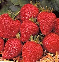 20 x Strawberry Cambridge Favourite Fruit Plants - Grow You're Own Strawberries - BARE ROOT Fruit Bush Strawberry