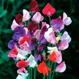 Package of Royal Maroon  sweet pea  flower  seeds bbf date 2022