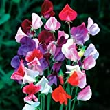Isla's Garden Seeds Beautiful Royal Sweet Pea Flower, 25 Premium Heirloom Seeds, Yields Gorgeous Assortment of Flowers for Your Home Garden! 95% Germination Rates, Seeds