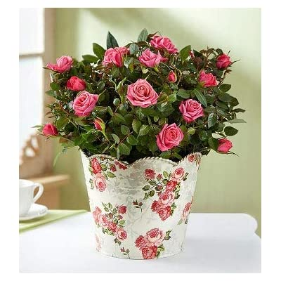 1800Flowers Mother's Day Classic Pink Rose Plant in Floral Planter (Large): Grocery & Gourmet Food
