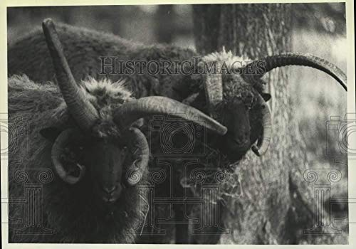 1991 Press Photo Two Navajo Sheep with horns at the Durrant Farm Schaghticoke NY
