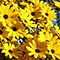 David's Garden Seeds Wildflower Native American Sunflower Swamp NS0012 (Yellow) 100 Open Pollinated Seeds