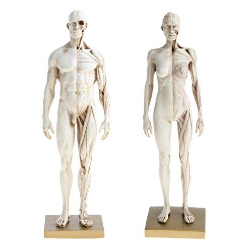 Perfeclan 白色スキン 人体全身筋肉表示モデル 11インチ人体模型 学校の教授 学習グッズ 男性と女性 解剖図モデル