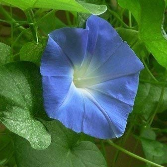 SeeKay Ipomoea - Morning Glory - Heavenly Blue - 100 seeds