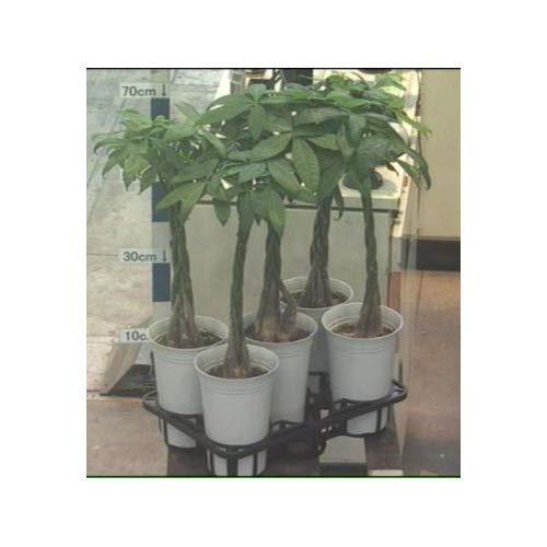 プランツネット 観葉植物 パキラ ねじり6.5号 K0115924 5個入 B07K8WV3K7