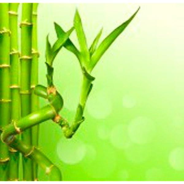 Caña de bambú espiral (40 cm) - Planta viva de interior: Amazon.es: Jardín
