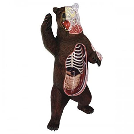 Amazon.com: Animal anatomy No.28 bear anatomy model [painted three ...
