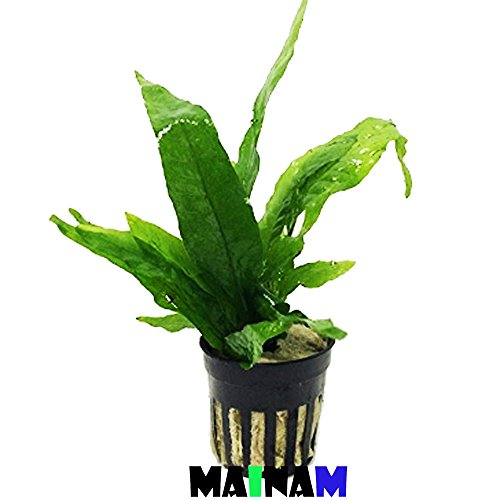 Picture of Mainam Java Fern Microsorum Pteropus Potted Freshwater Easy Tropical Live Aquarium Plant Decorations 3 Days Guarantee