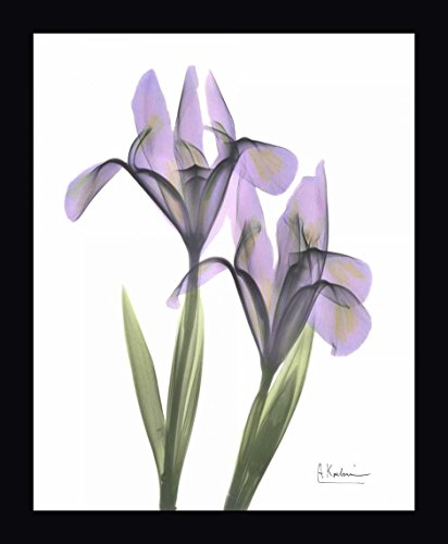 Purple Iris by Albert Koetsier - 11