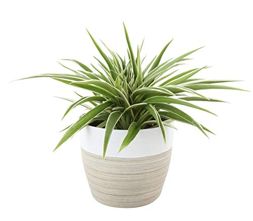Costa Farms Chlorophytum comosum Spider Live Indoor Plant, 12-Inches Tall, Ships in White-Natural Décor Planter
