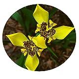 Yellow Walking IRIS Live Plant Water Garden Bog Border Trimezia steyermarkii Starter Size 4 Inch Pot Emerald tm