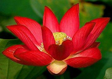 Floral treasure red lotus flower seeds pack of 10 amazon floral treasure red lotus flower seeds pack of 10 mightylinksfo
