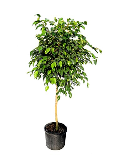 Ficus benjamina 'Wintergreen', Weeping Fig - 3 Gallon Live Plant by PlantVine