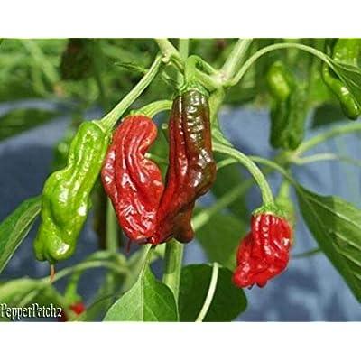 50+ Seeds Heirloom Hand Picked Shishito Premium Pepper Seeds : Garden & Outdoor