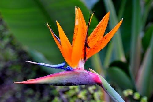10+ Bird of Paradise Flower Seeds