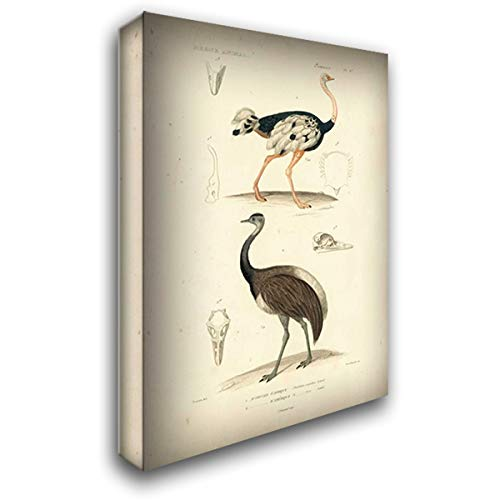 Antique Ostrich - Antique Ostrich Study 32x48 Extra Large Gallery Wrapped Stretched Canvas Art by Remond, N.