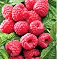 3 Raspberry Plants Heritage-Fall Bearing-Luscious flavor (3 bare root plants) Raspberries are one of the best sources of antioxidants!
